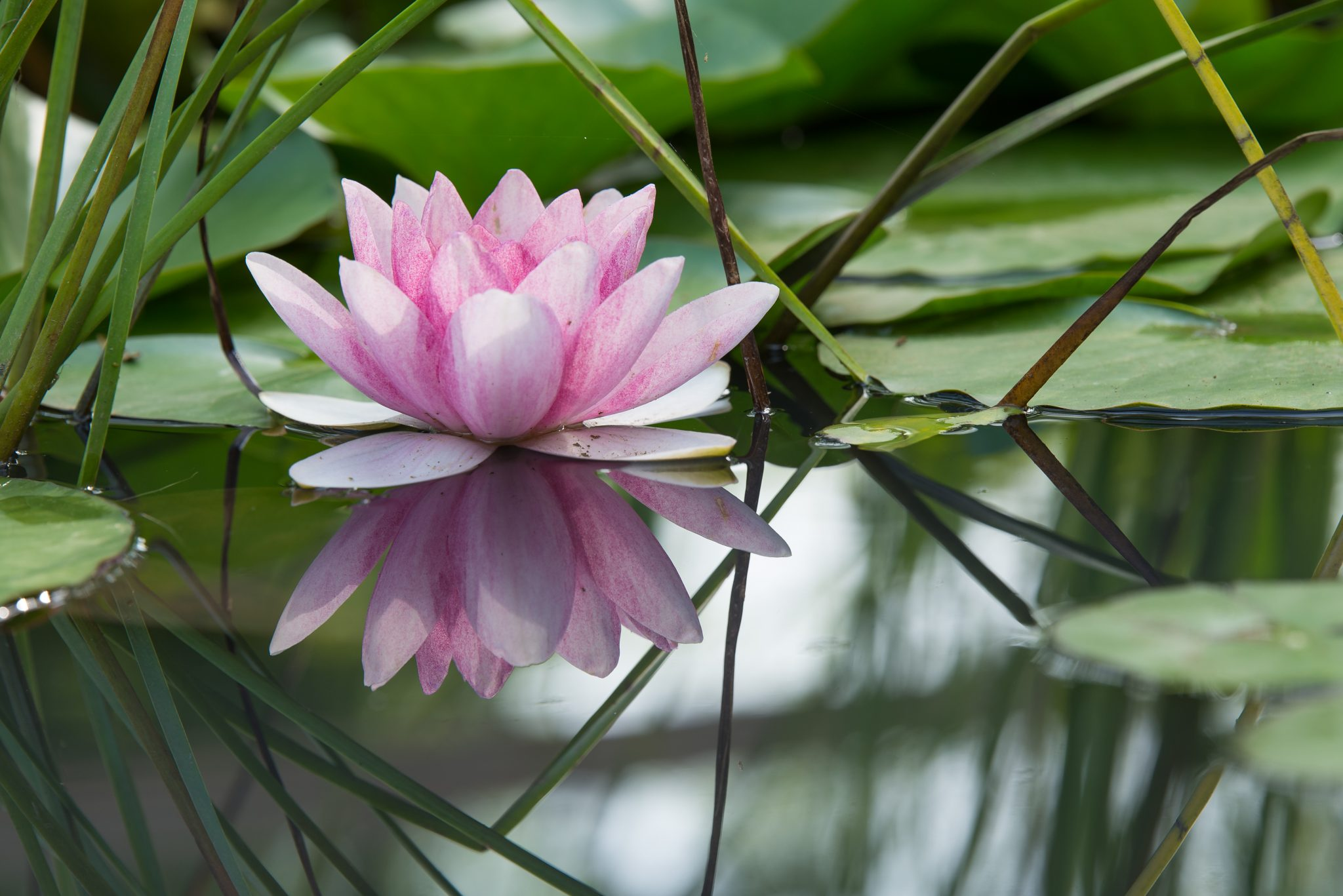 Pink lotus flower on a pond tell your story with evaloguefe there are no coincidences maybe its mindfulness photo of lily pad on izmirmasajfo Images